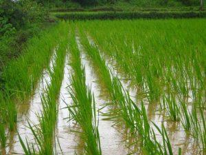 El arroz es una de las materias primas básicas del sector alimentario. Crédito: Pixabay