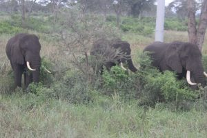 Elefantes en una de las áreas del Parque Nacional Queen Eliabeth infestadas por el invasor arbusto de la hoz. La Autoridad de Vida Silvestre de Uganda teme que la erradicación de la espinosa planta vaya a ser un gran desafío, porque ya colonizó vastas zonas del más extenso espacio protegido del país y el que cuenta con la fauna más numerosa. Crédito: Wambi Michael/IPS