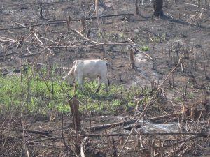 Incendios en el Amazonas para expandir la producción ganadera se contrapone al objetivo principal del Acuerdo de París por el cambio climático.