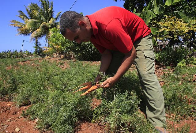 El agricultor Joel Fernández recolecta zanahorias cultivadas en su finca Soledad III, en Las Caobas, en las inmediaciones de la ciudad de Gibara, en la oriental provincia cubana de Holguín. Por tradición y por necesidad, en esta y otras fincas del área se práctica la agricultura ecológica. Crédito: Jorge Luis Baños/IPS