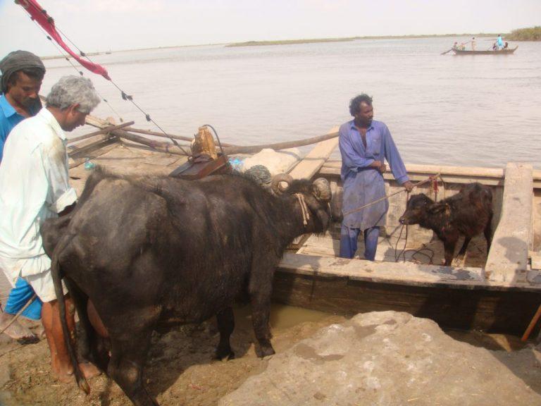 Productores agropecuarios en una orilla del delta del río Indo, en el suroeste de Pakistán. Con los años el agua ha ido menguando y el mar ha entrado tierra adentro, malogrando las tierras cultivables. Crédito: Zofeen Ebrahim / IPS