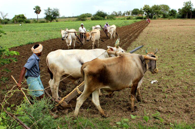 Los productores agrícolas de sobrevivencia que dependen de la lluvia para el riego requieren innovaciones en el manejo del agua, la agricultura y la energía. En la imagen tres familias de agricultores se ayudan mutuamente a arar y sembrar sus pequeñas parcelas, después del paso del último monzón en Warangal, en el estado de Andhra Pradesh, en el este de India. Crédito: Manipadma Jena / IPS