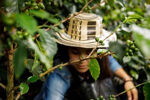 Una mujer cosecha café en una finca cerca de Tablón de Gómez, en el territorio de Nariño en Colombia. Crédito: Ryan Brown/ONU Mujeres