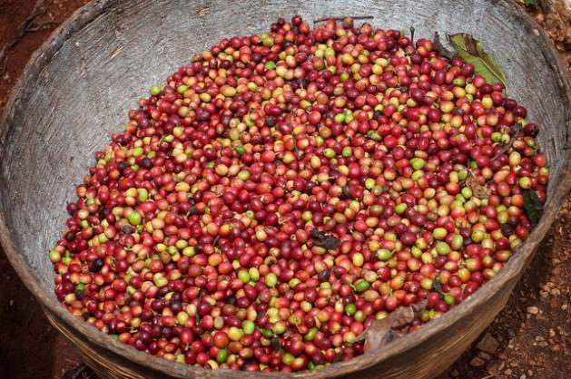 Aunque el café es el producto tropical que más se comercializa y se cultiva en unos 50 países del Sur en desarrollo, no logra dar suficientes ganancias para los pequeños productores