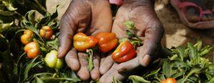 El cambio climático exacerba la propagación de plagas y la pérdida de los cultivos, representando una amenaza para la seguridad alimentaria en todo el planeta, según la Organización de las Naciones Unidas para la Alimentación y la Agricultura