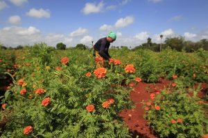 Un proyecto de alianzas entre cooperativas agropecuarias y entidades locales facilita la respuesta del agro de Cuba, que debe elevar la producción de alimentos en condiciones adversas ante la pandemia del nuevo coronavirus
