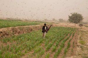 Un esfuerzo internacional, con participación de la FAO, ayuda a los agricultores de África oriental a contener la langosta del desierto. Un solo enjambre, con decenas de millones de insectos, puede arrasar en un día los cultivos con los que se alimentarían 35 000 personas. Foto: FAO