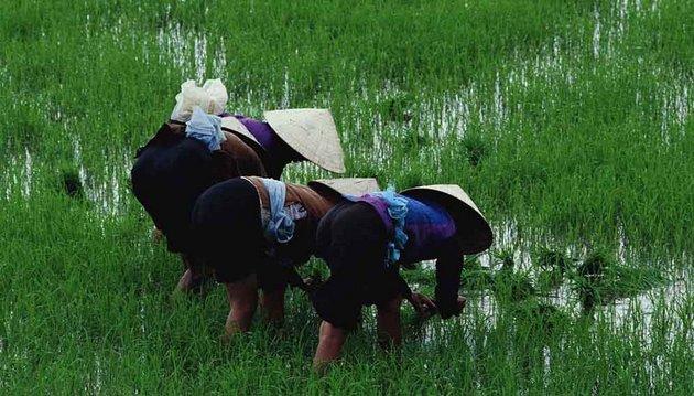"""Trabajadores de un arrozal en Asia. En algunas partes de la región, los agricultores están esparciendo antibióticos considerados """"críticos"""" para la medicina humana en cultivos de arroz. Foto: CABI - Communications"""