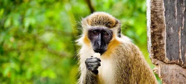 Los graciosos monos originarios de África son un atractivo para los turistas en islas caribeñas como San Cristóbal, pero su multiplicación afecta a la flora y fauna nativas y a los cultivadores de frutas, por lo que el Pnuma estudia un programa de gestión que restablezca los equilibrios. Foto: Jorge Quinteros/Pnuma