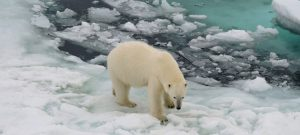 El calor en las regiones árticas amenaza el hábitat de especies como el oso polar, el caribú y la ballena boreal o de Groenlandia, al derretirse los hielos marinos, y con el incremento de incendios forestales, además de retroalimentar el calentamiento global. Foto: Karolin Eichler/DWD