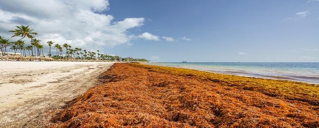 Los sargazos copan las playas de Jamaica y otras costas del Caribe, ahuyentando a los turistas y obstaculizando las faenas de pesca. Pero es posible su reconversión en productos que animen la economía a la vez que ayudan a proteger los ecosistemas. Foto: BID