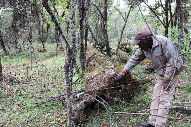 Cosmas Chemwotei Murunga, uno de los ancianos de la comunidad de los ogiek, de 72 años, inspecciona uno de los árboles talados en 1976. Las protestas de los ogiek pusieron fin a la tala aprobada por el gobierno de Kenia de los cedros rojos en tierras indígenas de este pueblo indígena. Foto: Isaiah Esipisu / IPS