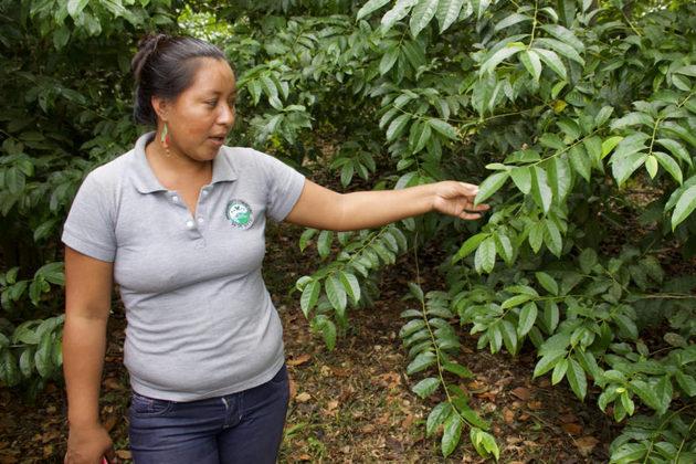 Leonor Andy, gerente general de Ally Guayusa, en un cultivo de hojas de guayusa utilizadas para preparar té. Foto: Matthew Wilburn King/Mongabay