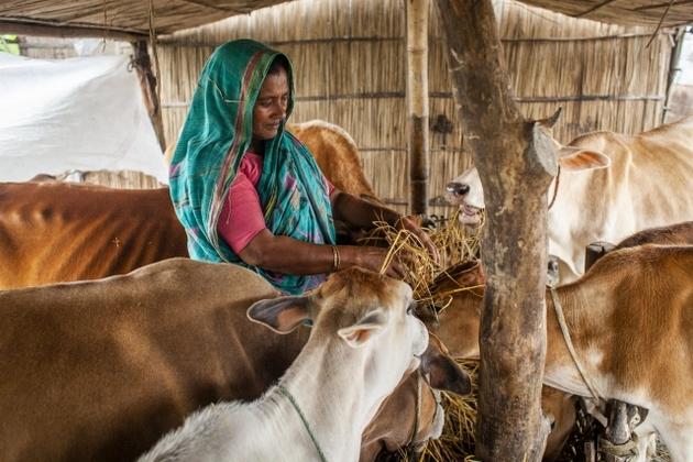 Jamila Begum, con su esposo e hijos, cuida ganado de otras personas para ganarse la vida en la inundada Bangladesh. Las mujeres tienen un papel relevante en estas faenas, a las que se ha dirigido parte de la ayuda internacional. Foto: Fahad Abdullah/FAO