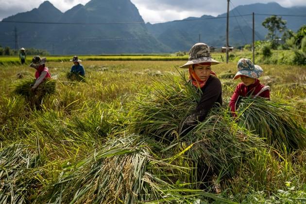 Unos agricultores cosechan arroz en Vietnam. Casi 95% de los trabajadores agrícolas son informales en la región de Asia y el Pacífico. La pandemia de covid está exponiendo las desigualdades y vulnerabilidades de grandes poblaciones, en particular en el Sur en desarrollo. Foto: Linh Pham/PNUD
