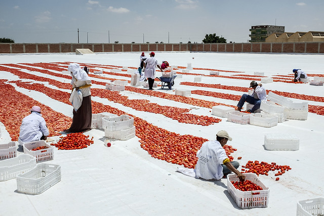 Trabajadores secando tomates muestra la importancia de el derecho a la alimentación.