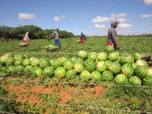 Agricultores de Sandía en terreno escasez causa inseguridad alimentaria en Brasil.
