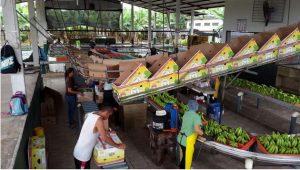 Procesamiento de bananos para exportación en una plantación de Ecuador. Certificar esa producción como ambientalmente sostenible, al sumarla a las cadenas de valor globales, puede mejorar los ingresos del país y sus agricultores. Foto: Piazza-Winner
