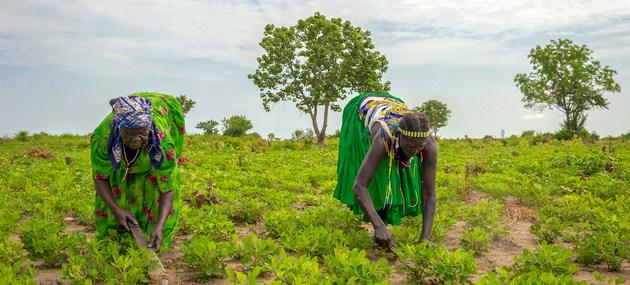 Mujeres trabajan en agricultura sustentable en Sudán del Sur, dentro de un proyecto del Programa Mundial de Alimentos para garantizar medios de subsistencia que permitan encarar la amenaza de mayor pobreza asociada a la pandemia covid-19. Foto: Giulio d´Adamo/PMA