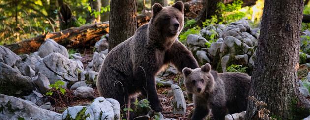 Oso y su osezno en el bosque. La biodiversidad al centro de las decisiones resulta fundamental para desarrollar un futuro sustentable y preservar el planeta.