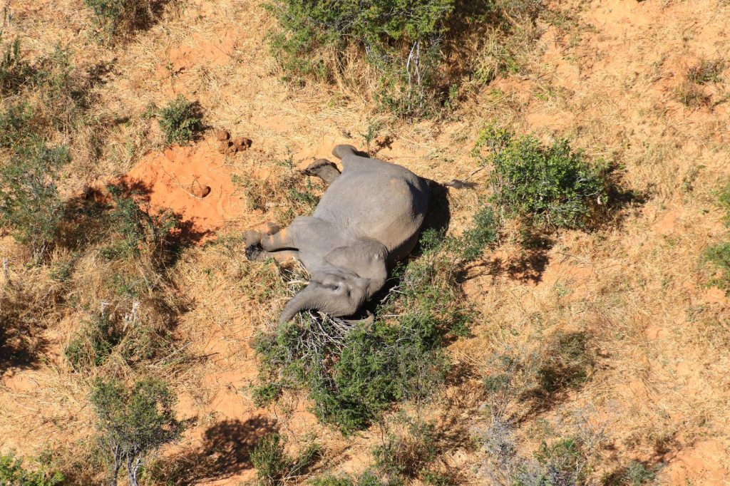 El mundo quedó conmocionado por la inexplicable muerte de cientos de elefantes en Botswana, que alberga un tercio de su población en África. La tardía explicación del gobierno sobre que unas cianobacterias causaron la mortandad de los paquidermos, dejan aún sin respuesta muchas dudas de conservacionistas y expertos en vida silvestre. Foto: Cortesía de Elefantes sin Fronteras
