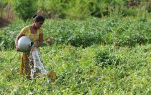 La agricultura es la actividad que consume la mayor parte del agua dulce, de riego y de lluvia, pero ese líquido escasea cada vez más, amenazando los propósitos de erradicar el hambre que padecen cientos de millones de personas. Foto: Ishara Kodikara/FAO