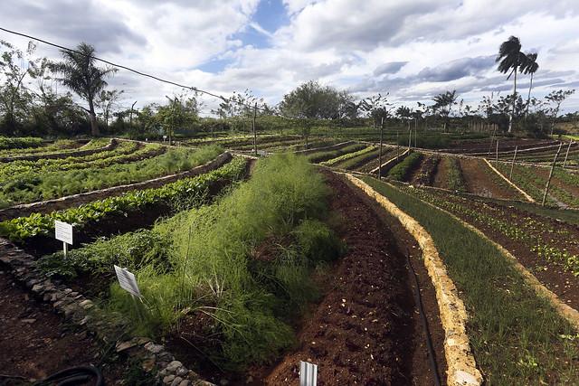 En el terreno ondulado y en declive de la Finca Marta, el cultivo de hortalizas en terrazas, diseñadas especialmente para impedir el escurrimiento superficial del agua durante las lluvias, ha sido determinante en la explotación del municipio de Caimito, en la provincia de Artemisa y a unos 20 kilómetros de La Habana, en Cuba. Foto: Jorge Luis Baños/IPS