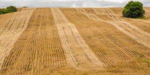 Embrapa y los agricultores están recurriendo a la mejora genética de la soja para compensar los efectos de la falta de lluvias en Brasil. Foto: Alamy/Diálogo Chino