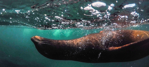 Una foca nada en las islas Galápagos, Ecuador, uno de los ricos ecosistemas necesitados de políticas, medidas e inversiones para su restauración, según coinciden el Pnuma y ministros de Ambiente de la región. Foto: Rod Long/Unsplash