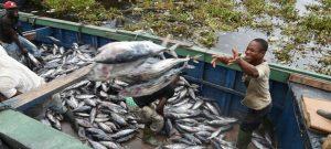 Pescadores descargan atunes en el puerto de Abiyán, Costa de Marfil. Todas las fases en la cadena de producción y comercialización de la pesca y acuicultura en el mundo resultan afectadas por los cierres debidos a la pandemia. Foto: Sia Kambou/FAO