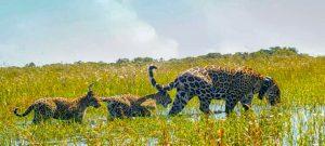 La jaguar Mariua, y sus dos crías, fueron liberadas en el gran parque Iberá, como parte de un programa para restablecer la fauna en hábitats degradados por la caza, la ganadería y el monocultivo. Foto: Tompkins Conservation