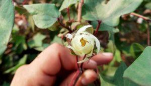 Un estudio en México analizó muestras de 61 plantas de algodón y encontró que dos tipos de transgenes habían llegado hasta el genoma de las plantas silvestres. Foto: Cortesía de Ana Wegier y Valeria Vázquez para SciDev.Net
