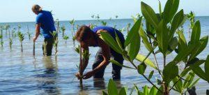 Comunidades del litoral sur de Cuba participan en programas de regeneración de manglares en esas costas caribeñas, en un proyecto que recibirá respaldo financiero del Fondo Verde para el Clima. Foto PNUD