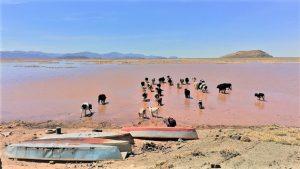 Ganado sediento llega a un lago, disminuido por la sequía, en la región boliviana de Oruro. Las actividades agrícolas y ganaderas son las que encajan las mayores pérdidas por catástrofes como sequías, plagas e inundaciones. Foto: Andy Shuai Liu/BM