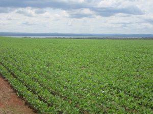 La monotonía del monocultivo de soja domina el paisaje en muchas áreas de Mato Grosso y otros estados brasileños. La regularidad de las lluvias en el bioma del Cerrado (sabana brasileña) favorece ese cultivo al empezar las lluvias, en septiembre u octubre, y permite una segunda siembra, de maíz o algodón, antes del estiaje. Foto: Mario Osava / IPS