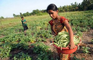 Agricultoras en una pequeña propiedad en Sri Lanka. Aunque solo producen 35 por ciento de los alimentos, las pequeñas explotaciones son cuatro de cada cinco de las 608 millones que hay en el mundo, lo que requiere políticas e inversiones orientadas a su productividad. Foto: Ishara Kodikara/FAO