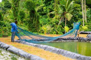 Varios acuicultores de Dominica han regresado a la cría del camarón, ante el declive de fuentes de ingresos como los cultivos frutales y el turismo, golpeados al sobreponerse la crisis del turismo derivada de la covid-19 y el impacto de huracanes que con frecuencia azotan la isla. Foto: Dwayne Benjamin/FAO