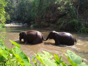 Dos elefantes cruzan un arroyo en el Santuario de Vida Silvestre de las Colinas Malai Mahadeshwara. Gracias a una serie de proyectos de conservación llevados a cabo por varias agencias gubernamentales, organizaciones no gubernamentales y la Unión Internacional para la Conservación de la Naturaleza, la población de vida silvestre está recuperándose. El bosque es ahora el hogar de unos 500 elefantes y ejemplares de otra especies de caza mayor, incluidos bisontes y tigres. Foto: Stella Paul/ IPS
