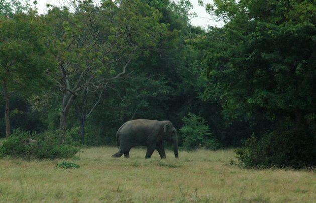 Un elefante deambula perdido y solo por cerca de un campo agrícola de Konweva, en Sri Lanka, después que la caza y la expansión de las fronteras han reducido su hábitat natural. Foto: Amantha Perera/IPS
