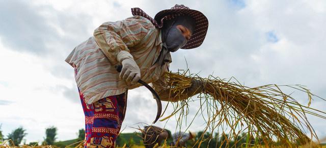 Trabajadora vietnamita migrante cosecha arroz en un campo del norte de Tailandia. A menudo, en todo el mundo y más cuando son migrantes o pertenecen a minorías étnicas, las mujeres deben laborar jornadas más largas, con menos remuneración que los hombres y carentes de protección social. Foto: Pornvit Visitoran/ONU Mujeres
